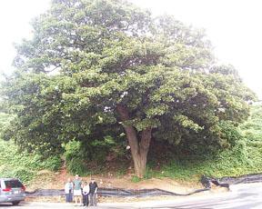 Ponce-tree-sm